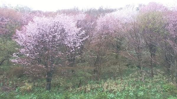 桜はいい状態なのに、、